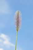 Hoary plantain (Plantago media) Stock Photography