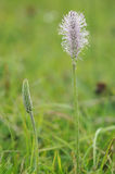 Hoary Plantain Stock Image