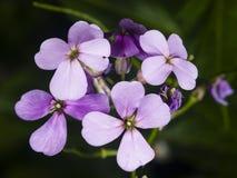 Hoary Stock, Matthiola incana, flowers, close-up, selective focus, shallow DOF Stock Photo