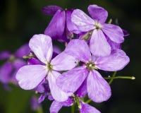 Hoary Stock, Matthiola incana, flowers, close-up, selective focus, shallow DOF Stock Images