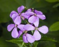 Hoary Stock, Matthiola incana, flowers, close-up, selective focus, shallow DOF Royalty Free Stock Photos
