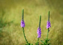 Hoary Vervain wildflower royalty free stock image