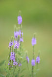 Hoary Vervain Wildflower - Verbena stricta royalty free stock photos