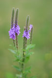 Hoary Vervain Wildflower. Vertical photo of hoary vervain Kansas wildflower Stock Image