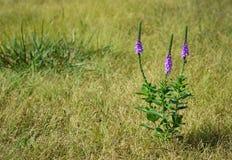 Hoary Vervain wildflower