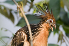 Hoatzin stock photo