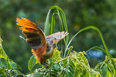 Hoatzin. Adult Hoatzin Perched On Branch And Flapping Wings At Amazonia Lodge, Manú National Park And Biosphere Reserve, Peru Stock Image