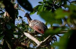 Hoatzin bird in amazon rainforest, Yasuni National Stock Photo