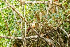 Hoatzin Bird In The Wild Stock Photo