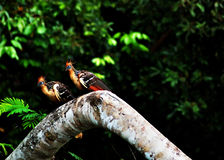 Hoatzin birds in the Amazon Ju. Ngle, aka stinkbird stock photo
