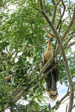 Hoatzin fågel Arkivbild