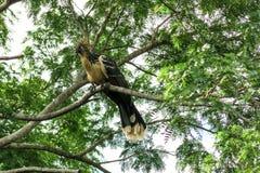 Hoatzin fågel Arkivfoton