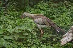 Hoatzin nel giardino dell'uccello alla bella casa di campagna vicino a Leeds West Yorkshire che non è la fiducia nazionale Immagini Stock Libere da Diritti