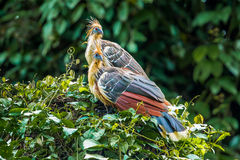 Hoatzin. Pair Of Adult Hoatzin Perched On Top Of Brush At Amazonia Lodge, Manú National Park And Biosphere Reserve, Peru Stock Images