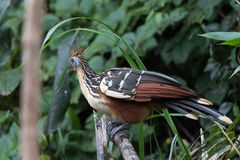 Hoatzin (stinky bird). Hoatzin on pole in Manu NP Royalty Free Stock Photography