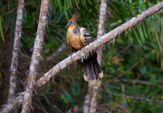 Hoatzin or Stinky Turkey Royalty Free Stock Images