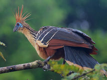 Hoatzin or Stinky Turkey Royalty Free Stock Image