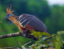 Hoatzin of Stinky Turkije Stock Fotografie