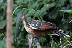 Hoatzin (uccello puzzolente) fotografia stock libera da diritti