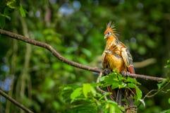 Hoazin del Opisthocomus de Goatsin en un árbol en el parque nacional de Limoncocha en la selva tropical del Amazonas en Ecuador imagenes de archivo