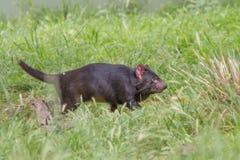 Tasmanian devil Sarcophilus harrisii stock photos