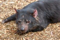 Tasmanian devil Sarcophilus harrisii royalty free stock image