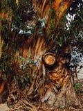 Hobbit träd Arkivbilder
