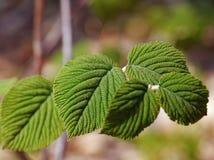 Hobble Bush Leaf Patterns Stock Image