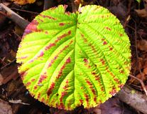 Hobblebush leaf. A hobblebush leaf changing colors from green to red in autumn in burr pond state park in Torrington Connecticut America Stock Images