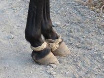 Hobbled black horse Royalty Free Stock Photography