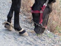 Hobbled black horse Stock Photos