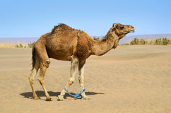 Hobbled camel Stock Images
