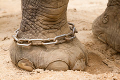 Hobbled foot of a working Indian Elephant Royalty Free Stock Images
