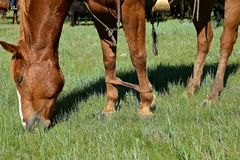 Hobbled horse during a roundup and branding. A leather strap is used to hobble a horse during a roundup and branding session in ranch country royalty free stock photos