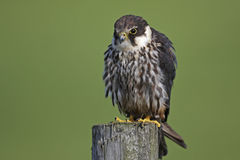 Hobby. Captive Hobby on a fence post in Mid Wales with a green background Stock Image