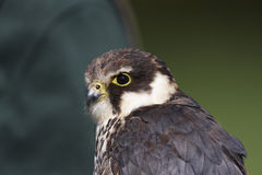 Hobby. Close-up of a captive hobby in Mid Wales Royalty Free Stock Images