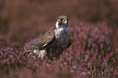 Hobby. A captive hobby sat in heather on a moorland Royalty Free Stock Image