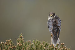 Hobby. A captive hobby,Falco subbuteo,perched on a post in gorse Stock Photo