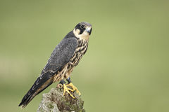 Hobby. A captive hobby Falco Subbuteo on a fence post Royalty Free Stock Images