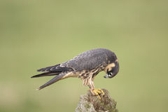 Hobby. A captive hobby Falco Subbuteo on a fence post Stock Photography