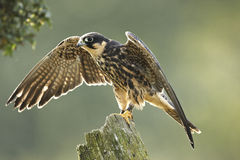 Hobby. A backlit captive Hobby Falco subbuteo with wings outstretched Royalty Free Stock Photo