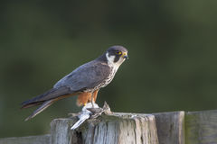 Hobby. Adult Hobby with prey in late light Stock Photography