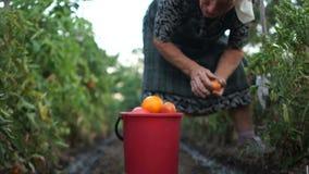 Hobby av pensionären, hushålltäppa, skörd av tomater Rivande tomater för en äldre kvinna från en buske i hennes egna stock video