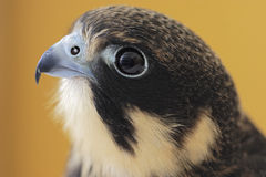 Hobby euroasiatico (Falco Subbuteo) immagini stock