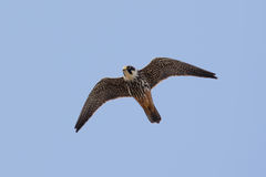 Hobby (Falco subbuteo) in flight. Against a blue sky royalty free stock photo