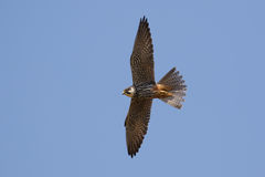 Hobby (Falco subbuteo) in flight Royalty Free Stock Photos