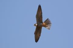 Hobby (Falco subbuteo) in flight. Against a blue sky Royalty Free Stock Photos