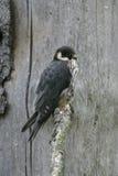 Hobby, Falco subbuteo. Single bird on branch Royalty Free Stock Images