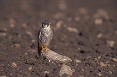 Hobby, Falco subbuteo. Single bird on branch, The Oman Royalty Free Stock Images