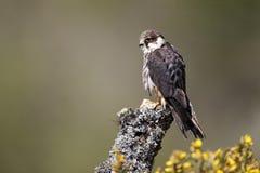 Hobby, Falco subbuteo. Single captive bird on branch, Midlands, April 2011 Royalty Free Stock Image
